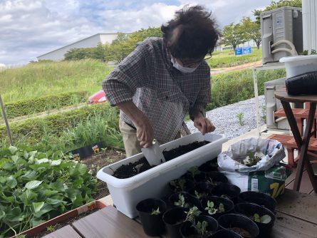 苗植え替え作業1